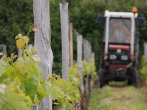 Vigne Vignobles Carles_12
