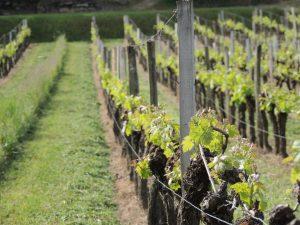Vigne Vignobles Carles_2