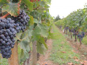 Vigne Vignobles Carles_3